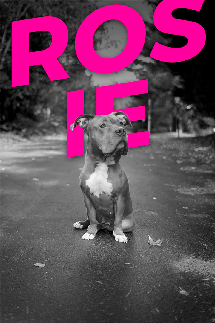 black and white photo of a pit bull that says Rosie behind her